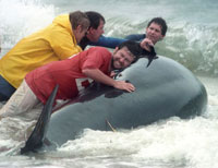 Volunteers Fail Save 2 Beached Whales