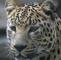 Roza Khutor to bring Persian leopard back to Russia's Caucasus