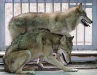 South Korean university investigates research on cloned wolves