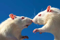 Scientists learn to milk mice