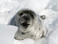 Russia bans harp seal trade. Next stop, Canada!. 46206.jpeg