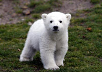 Berlin Zoo celebrates polar bear Knut's first birthday