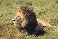 India lawmakers claim environment ministry inaction to blame for lion poaching