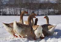 Hungary: Possible new case of bird flu, 9,400 goslings culled