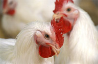 Confirmed cases of bird flu rise to 50 in Kuwait