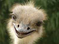 Ostrich Gustav suffers from impotence because of firecrackers in Germany