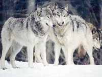 Gray wolf to be taken off endangered list in 2 northern U.S. regions