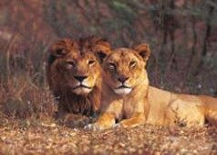 Poachers kill rare Asiatic lions, remove their claws and bones