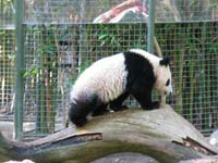 Panda beaten by drunk tourist attacks teenager at Beijing Zoo