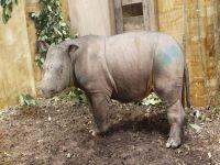 Female Sumatran rhino found in Malaysia. 46258.jpeg