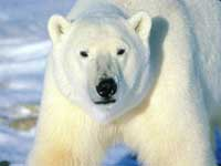 Proposal to list polar bears as endangered species generates heavy public comment