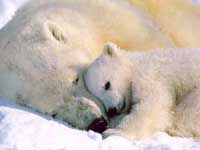 Government hears concerns over listing polar bears as threatened species