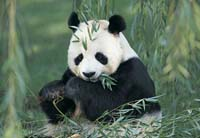 Pregnant panda at Memphis Zoo miscarries, ultrasound shows