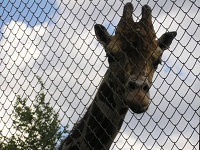 Three giraffes die in Siberian zoo. 48269.jpeg