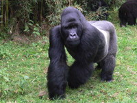 Wildlife habitat for endangered mountain gorilla captured by rebels