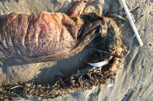 Hurricane Harvey washes ashore deepwater monster in Texas. 61276.jpeg