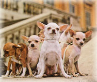 Chihuahuas Seriously Lack Protection and Care in the Sunny State
