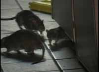 Health inspector quits amid New York investigation of restaurant rat droppings