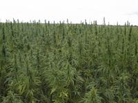 Netherlands to extend its medical marijuana program