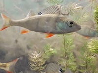 Fish sound making muscles show no evolution for What sound does a fish make