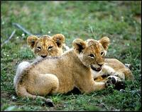 Four Lion cubs appear in public in Basel Zoo