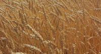 Putin Announces Temporary Export Ban on Wheat