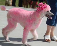 Pink poodle's owner to appear in court