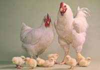New H5N1 outbreak confirmed in chickens in central Thailand