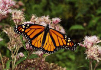 Mexican police to protect Monarch butterflies
