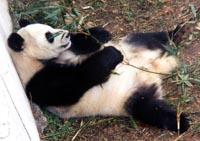 Chinese giant panda at the Memphis Zoo is pregnant