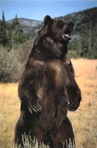 Moose hunter believed killed by bear in Sweden