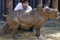 World's first rhino conceived by artificial insemination to have brother or sister