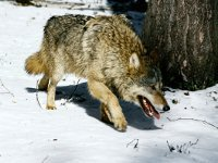 One dead wolf brings hunter ,000 in Siberia. 49326.jpeg