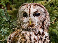 Endangered owl species live online in Nizhny Novgorod region. Tawny Owl