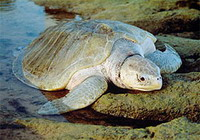 Scientists post cash reward for transmitters taken from missing turtle