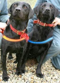 Malaysian authorities award two black Labradors for pirate DVD-sniffing