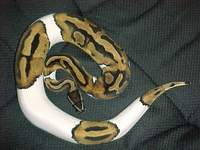 Man finds 2-meter python in his toilet bowl