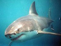 Man to be jailed for killing great white shark in South Africa. 49340.jpeg
