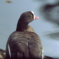 The lesser white-fronted goose is about to extinct
