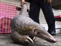 And our next victim is... The Pangolin!. 49347.jpeg