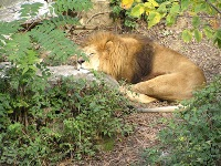Two young African lions arrive at St. Louis Zoo