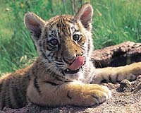 Forest guards find tiger cubs carcasses in Indian park