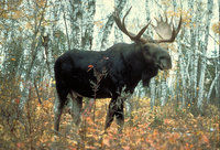 Moose attacks man near Moscow injuring his head and chest. 49365.jpeg
