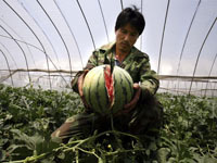 Fields of watermelons are bursting in China. 44370.jpeg