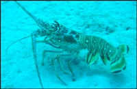 Three hundred lobsters liberated