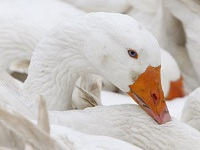 Geese save human lives having died in farm fire. 48377.jpeg