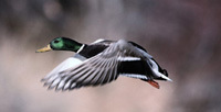 2,500 mallard ducks die of bacterial or fungal infection