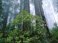 Giant Redwoods of California May Soon Fade Out as Fog