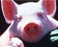 Russian professor says swine help in transplantation of human hearts