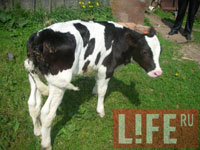 Calf with 5 legs and 2 sex organs born in Russia